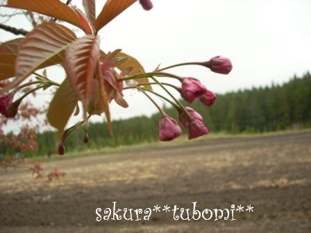 ☆ツボミ桜☆