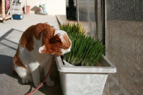猫草れお①