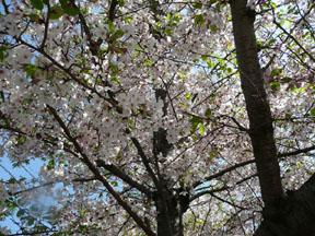 003 (100)桜の下