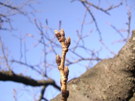2桜の芽?