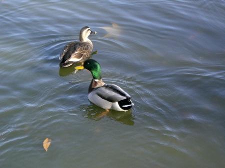3きれいな鴨