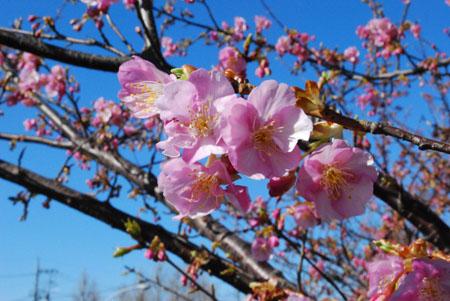 5ほら桜がきれい