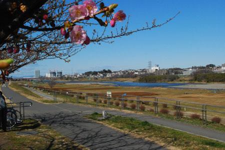 6多摩川と桜