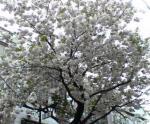20060416_ishi_sakura