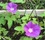 20070806_garden_asagao