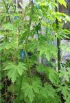 20070806_garden_goya