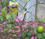 20071127_garden_lemon.jpg