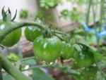 20080618_tomato.jpg