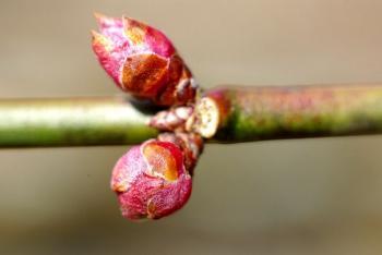 梅のつぼみ2