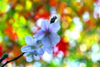 sakura1_20091108194106.jpg