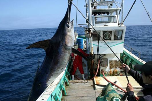 「カジキ突きん棒漁」の画像検索結果