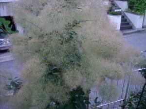 スモークツリー2