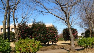 枯れた桜と山茶花と青い空