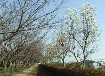 木蓮並木の道