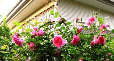 庭先の蔓薔薇