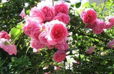 薔薇週間2