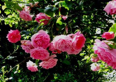 薔薇週間3