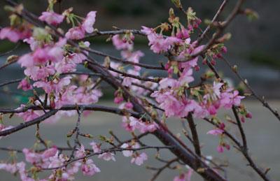0902桜