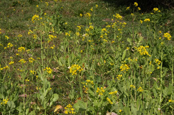 0903菜の花