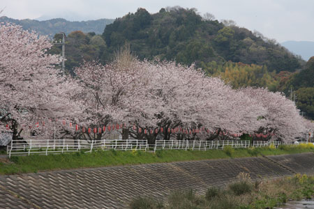 0904桜2