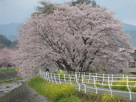 0904桜5