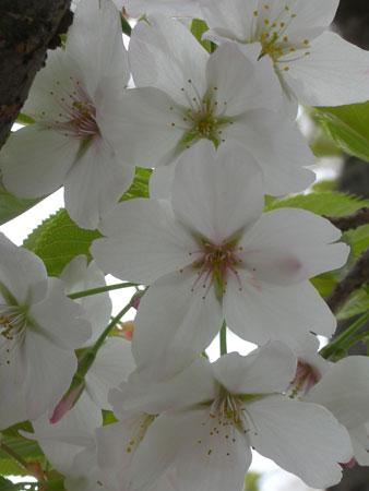 0904桜4