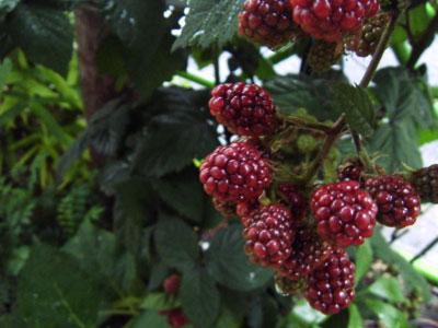 _berry.jpg