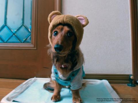 ミッキーマウス(かぶりものとミニチュアダックス)