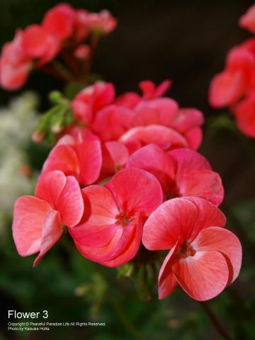 赤のようなピンクのような色の花