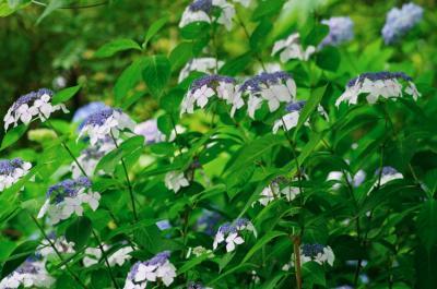 ajisai21_convert_20090717133239.jpg