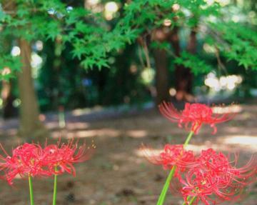 秋の七草16