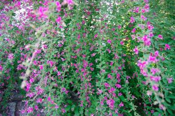 秋の七草2