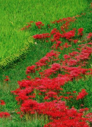 秋の七草33