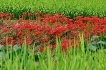 秋の七草34