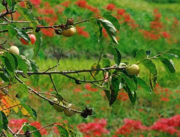 秋の七草39