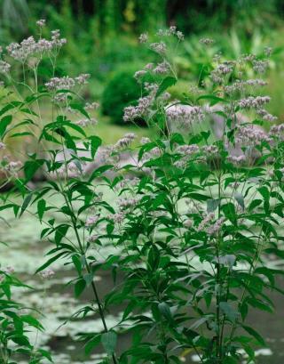 秋の七草50