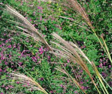 秋の七草6