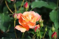 flower7_convert_20081110144248.png