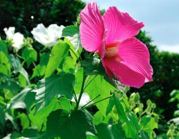 夏の花30