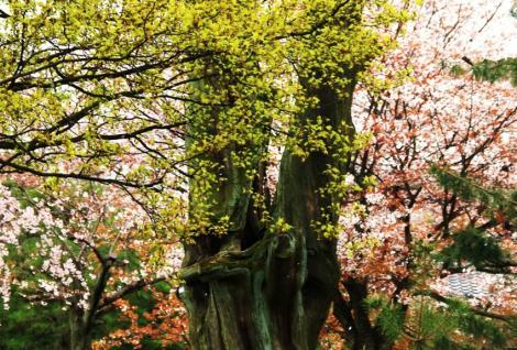 京都桜便り11