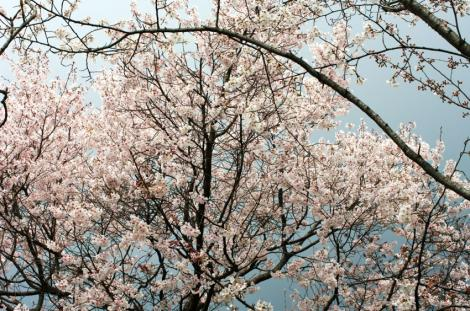 京都桜便り12