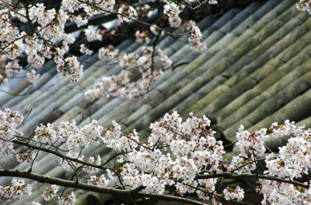 sakura132_convert_20090519130606.jpg