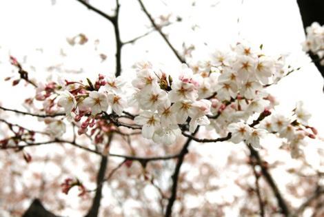 京都桜便り13