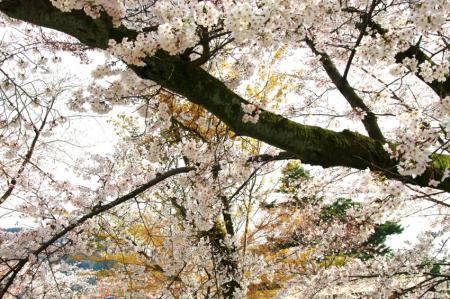 sakura149_convert_20090519131049.jpg
