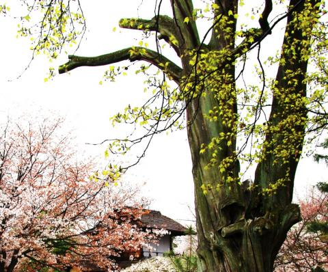 京都桜便り18