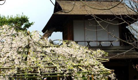 京都桜便り19