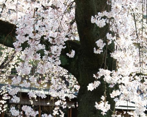京都桜便り26