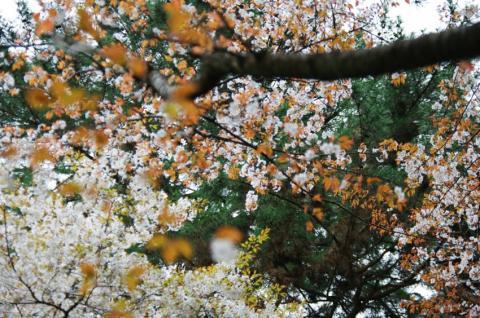 sakura35_convert_20090504134259.jpg