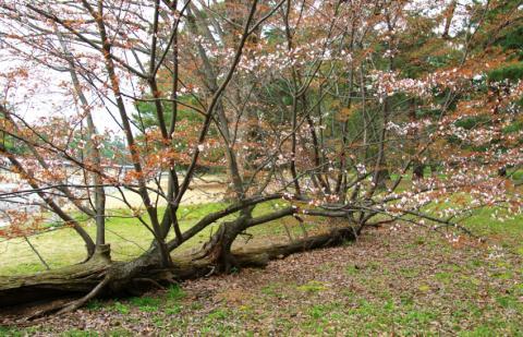 sakura47_convert_20090504142220.jpg