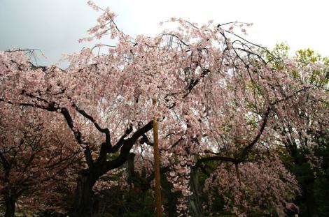京都桜便り5